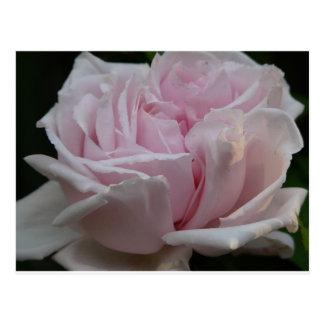 rose,light pink 2 postcard