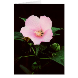 Rose Mallow Blank Greeting Card