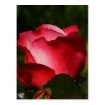 Rose of Love Post Card