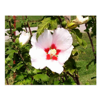 Rose of Sharon Bloom Postcard
