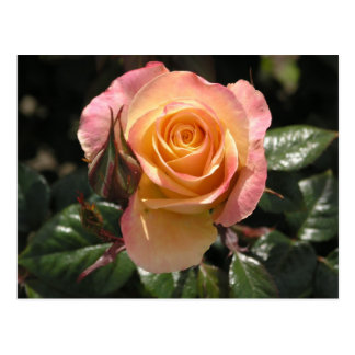 Rose, pale yellow and pink postcard