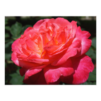 Rose Photography Big Pink Red Rose Floral Photo