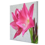 Rose Pink Crinum Lily 32x32 Stretched Canvas Print