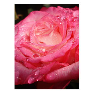 Rose pink drenched post cards