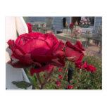 Rose Post Card