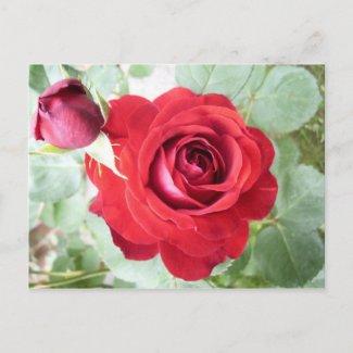 rose postcard postcard