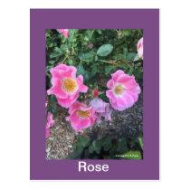 Rose - Postcard