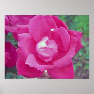 rose poster print