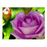 Rose_ púrpura tarjeta postal