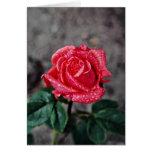 Rose, Shropshire Garden, after rain  flowers Card