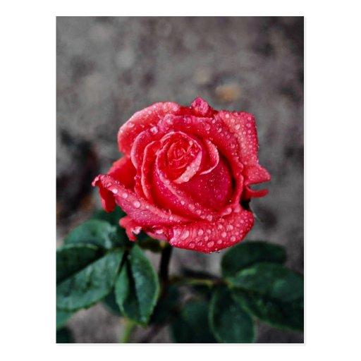 Rose, Shropshire Garden, after rain  flowers Postcard