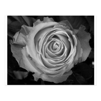 Rose Spiral BW Postcard