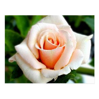 Rose Spirit Of Peace Postcard
