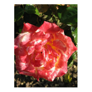 Rose Test Garden 043 Postcard