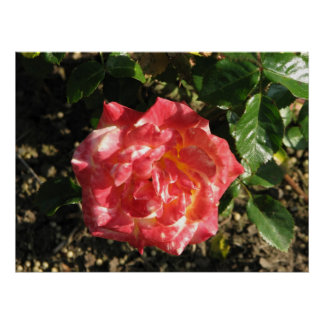 Rose Test Garden 043 Posters