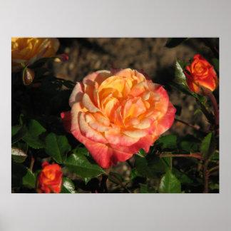 Rose Test Garden 048 Poster