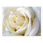 Rose White Postcards