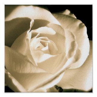 Rose White Poster