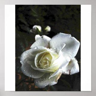 rose,white,raindrops print