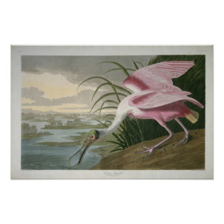 Roseate Spoonbill, 1836 Print