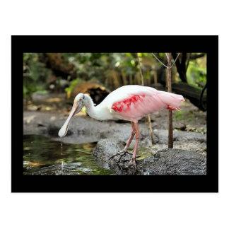 Roseate Spoonbill Bird Photo Postcard