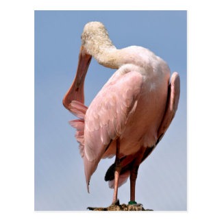 Roseate Spoonbill on wood post Postcard