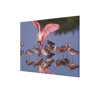 Roseate Spoonbill with Willets in shallow water Canvas Print