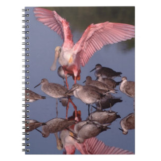 Roseate Spoonbill with Willets in shallow water Notebook