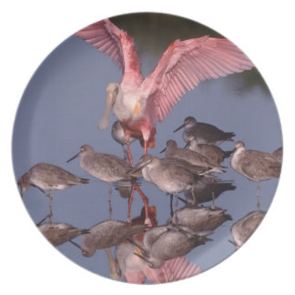 Roseate Spoonbill with Willets in shallow water Dinner Plate