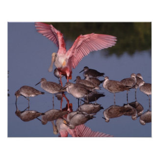 Roseate Spoonbill with Willets in shallow water Poster