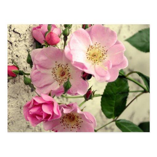 Rosebuds for You Postcard