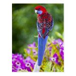 Rosella carmesí y contexto de las orquídeas tarjetas postales