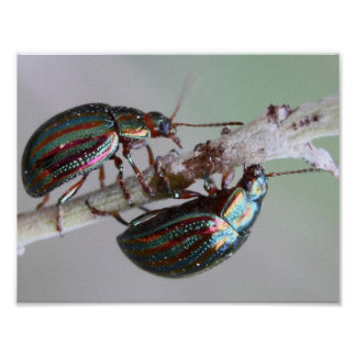 Rosemary Beetles Poster