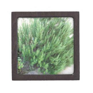 Rosemary plant gift box
