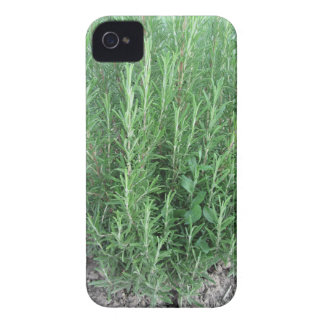 Rosemary plant in the garden . Tuscany, Italy iPhone 4 Cover