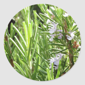 Rosemary plant with flowers classic round sticker