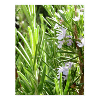 Rosemary plant with flowers postcard