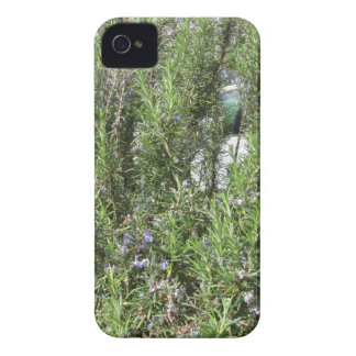 Rosemary plant with flowers . Tuscany, Italy iPhone 4 Case