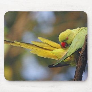 Roseringed Parakeet preening,Keoladeo National Mouse Pad
