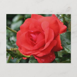Roses Are Red Flower Photo Postcard postcard