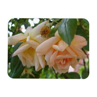 Roses dangling from an arbour rectangular photo magnet