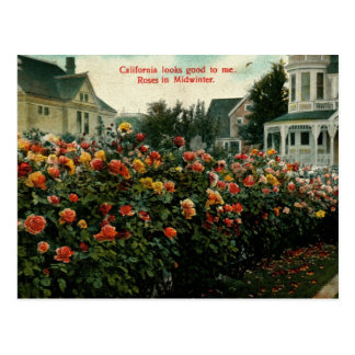 Roses in Midwinter, California Vintage Postcard