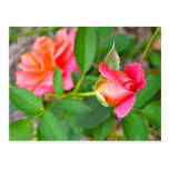 roses.jpg rosado tarjetas postales