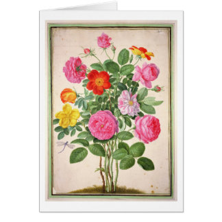 Roses, plate 4 from the Nassau Florilegium (w/c on Card