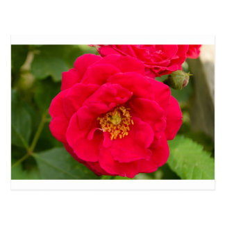 Roses Post Cards