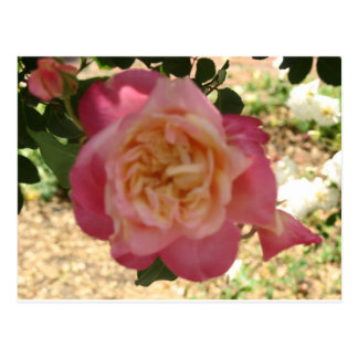 Roses, Roses Postcard
