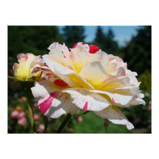 ROSES White Pink Rose Flowers Art Prints Posters