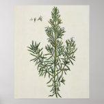 "Rosmarinus Officinalis, ""de un herbario curioso"",  Poster"