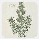"""Rosmarinus Officinalis, """"de un herbario curioso"""", Calcomanía Cuadrada Personalizada"""