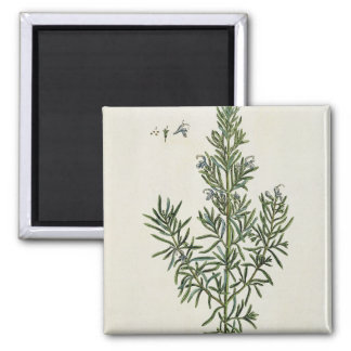Rosmarinus Officinalis, from 'A Curious Herbal', 1 Magnet